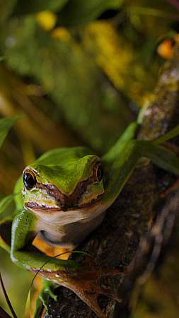 Green tree frog Mobile Vertical wallpaper