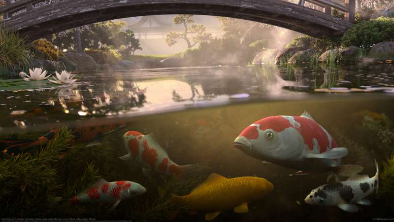 Koi fish pond wallpaper or background