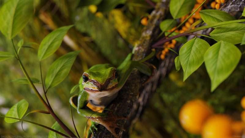 Green tree frog wallpaper or background
